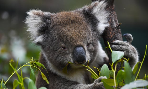 'Road to extinction': koalas could soon be listed as endangered in swathes of eastern Australia