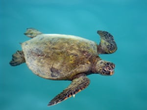 Hawaiian green sea turtleWhile waiting to board a boat to see the wonders of Hawaii's ocean life, this Hawaiian green sea turtle obligingly drifted through the blue-green water alongside the quay Photograph: grahamsisland/GuardianWitness