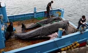 Fishermen in northern Japan are set to defy international opinion by resuming hunting whales for profit.
