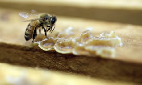 US beekeepers lost 40% of honeybee colonies over past year, survey finds