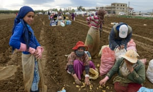 Syrians help with the potato harvest for a Lebanese farmer in the Bekaa valley