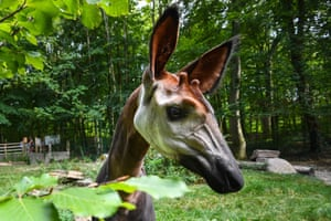 An okapi at Mulhouse zoo in eastern France