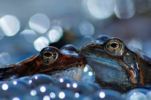 Two European common brown frogs, Aveto Regional Natural Park, Italy: gold prize in behaviour - amphibians and reptiles