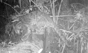 A Sunda clouded leopard. This is the first record for Hadabuan Hills landscape. This species is listed as vulnerable.