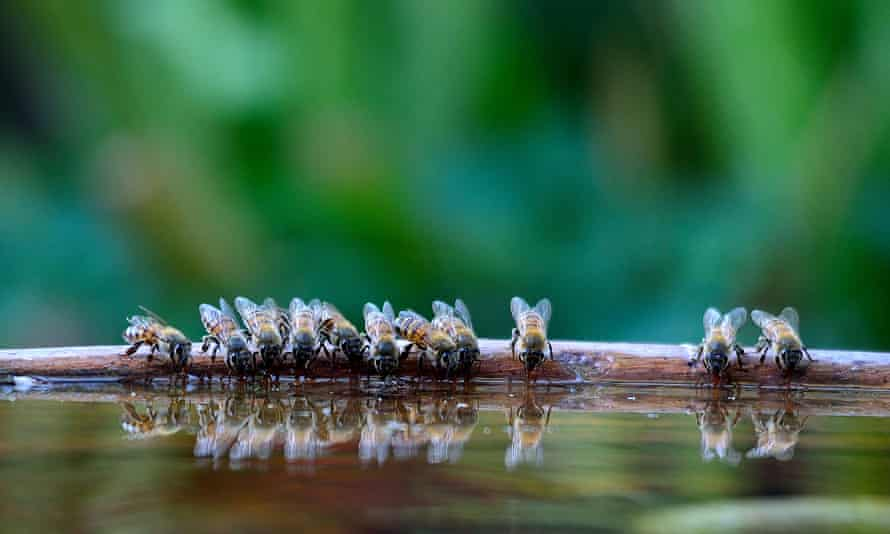 Bees flock to water during an intense drought in South Africa