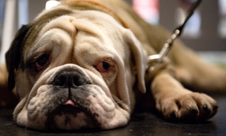 An English bulldog is one of the UK's most expensive of breeds.