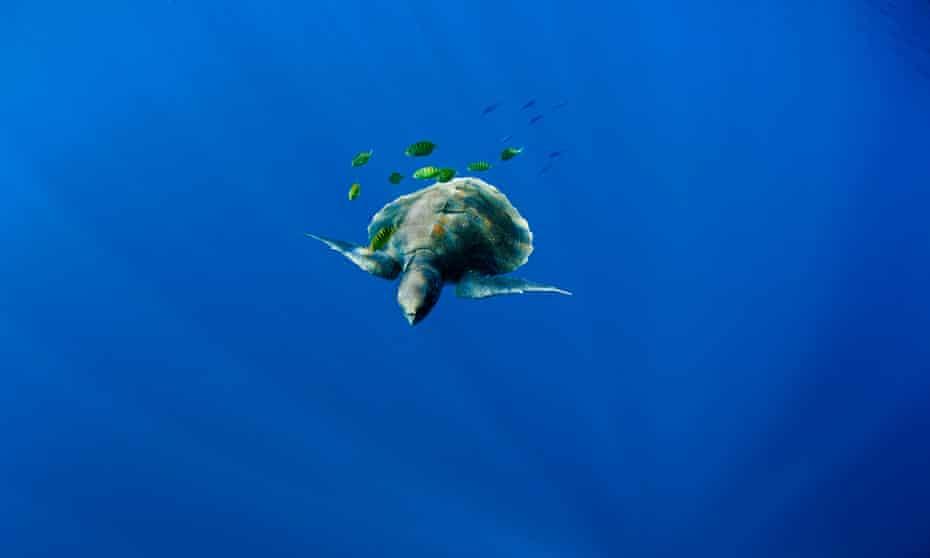 Olive ridley turtles (Lepidochelys olivacea) are deep sea dwellers.