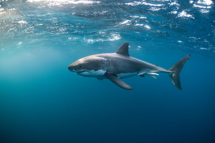 'Rolling and rolling and rolling': the first detailed account of great white shark sex