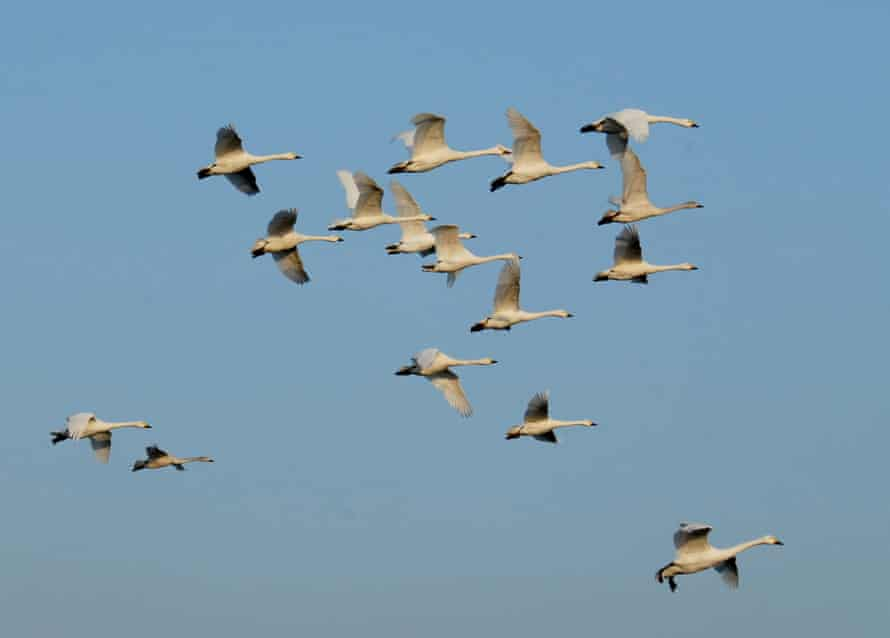 Flock of Bewick's swans at Slimbridge