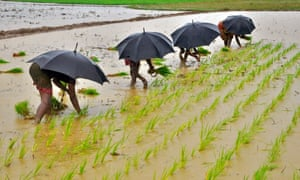 Workers in a paddy field in Bhubaneswar, India