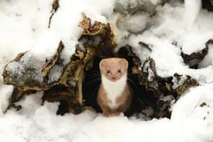 Common weasel in spring, North Yorkshire, England, taken by Robert E Fuller, British seasons winner.