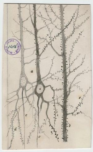Dendrites of pyramidal neurons of the rabbit cerebral cortex