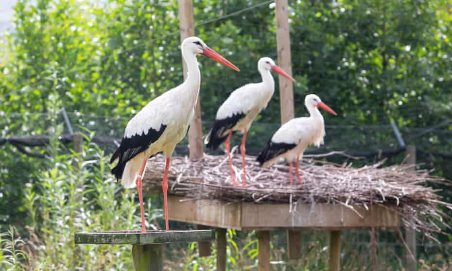 White storks at Derek Gow's farm in Devon, UK.
