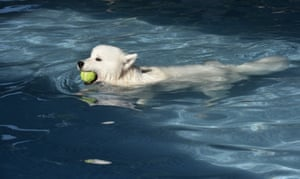 This snow white animal retrieves a tennis ball without getting its head wet