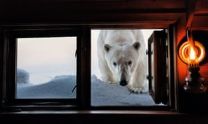a polar bear peers in at a cabin window in svalbard