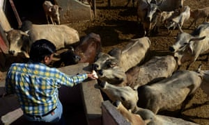 A man feeds animals at a cow shelter in New Delhi. Most Indian states have banned their slaughter.