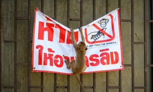 "A longtail macaque tears down a poster reading ""Don't feed the monkeys"" in the town of Lopburi, some 155km north of Bangkok, on 21 June 2020."