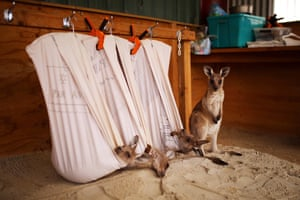 Eastern grey kangaroo joeys orphaned in the bushfires recover at the property of carers Kevin and Lorita Clapson in East Lynne, New South Wales