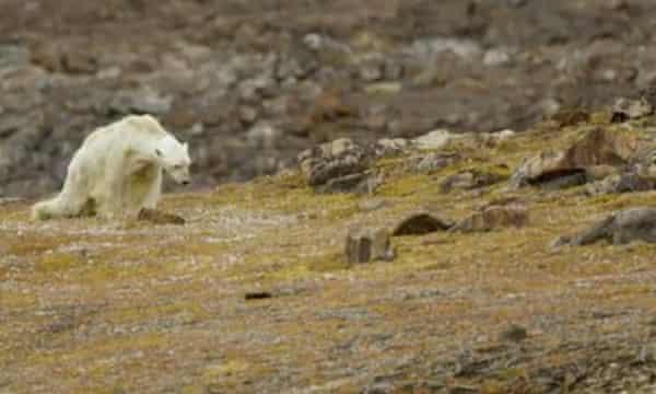 A still from a recent video showing a starving polar bear.