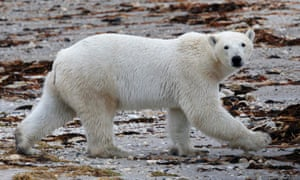 A polar bear walks along the shore of Hudson Bay near Churchill, Manitoba, where melting sea ice has caused a spike in sightings.