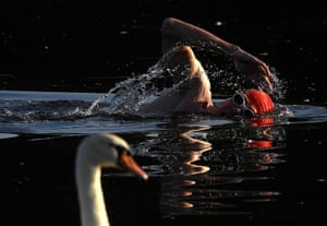 London, UK: A swimmer passes a swan in the Serpentine, Hyde Park