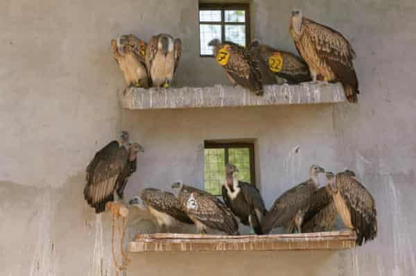 Long-billed vultures (Gyps indicus), oriental white-backed vultures (Gyps bengalensis) and Himalayan griffon vulture (Gyps himalayensis) in captivity at the Vulture Conservation Breeding Centre near Pinjore in Haryana, India, March 2005