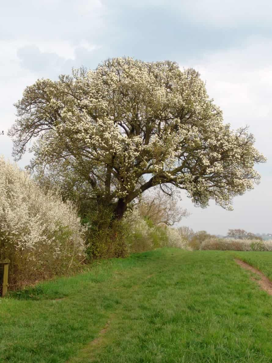 The Cubbington wild pear tree was European Tree of the Year in 2015 and is in the path of HS2