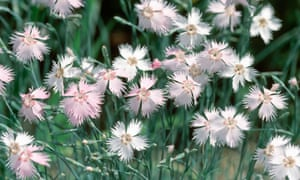 All pinks are descended from Dianthus plumarius.