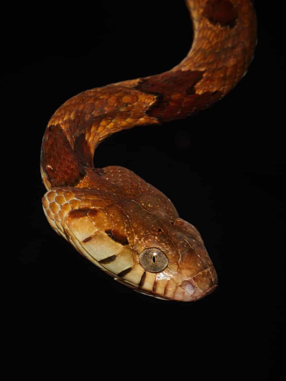 A boiga snake