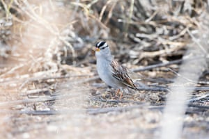 A white-crowned sparrow in Colorado woodland, US