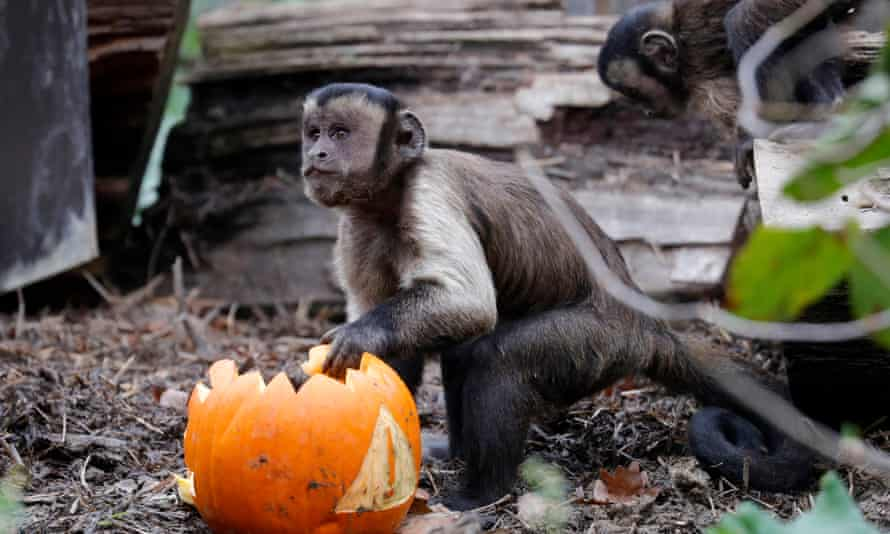 A grey capuchin monkey eats a Halloween pumpkin. Police told the local Fox 19 Now television channel that the animals may have escaped from a private exotic animal collector's home.