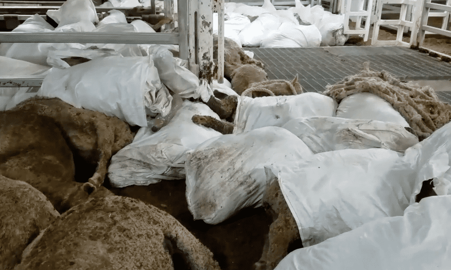 Piled-up bodies of dead sheep on the live export ship the Awassi