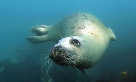 Snorkelling with seals off Eastern Isles, Isles of Scilly
