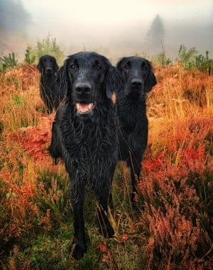 First place, Portrait: three flat-coated retrievers