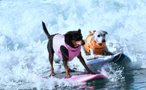Surfing dogs catch a wave