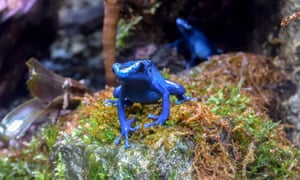 Singing the blues: a poison-dart frog on a mound of moss.