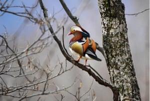 A mandarin duck on a tree by the Solyonaya Protoka River outside Vladivostok, Russia.