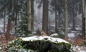 Beauty and the beast: a Eurasian wolf roaming the forest.