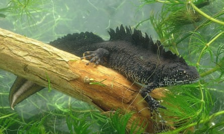 An adult male great crested newt