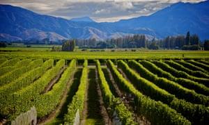 Marlborough wine crop in New Zealand