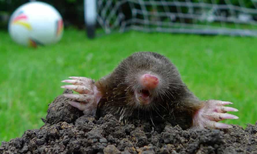 Moles: not welcome in the vicinity of a football pitch.