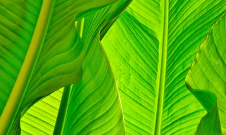 Let's go bananas: growing the leaves in your back garden
