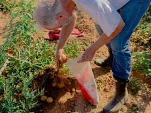 Quail Hill Farm member, Joe Petersen harvesting potatoes in Amagansett, New York on July 18th, 2020.