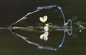 Damselflies above surface of a lake
