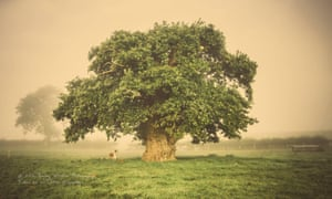The Brimmon oak in Newtown, Wales