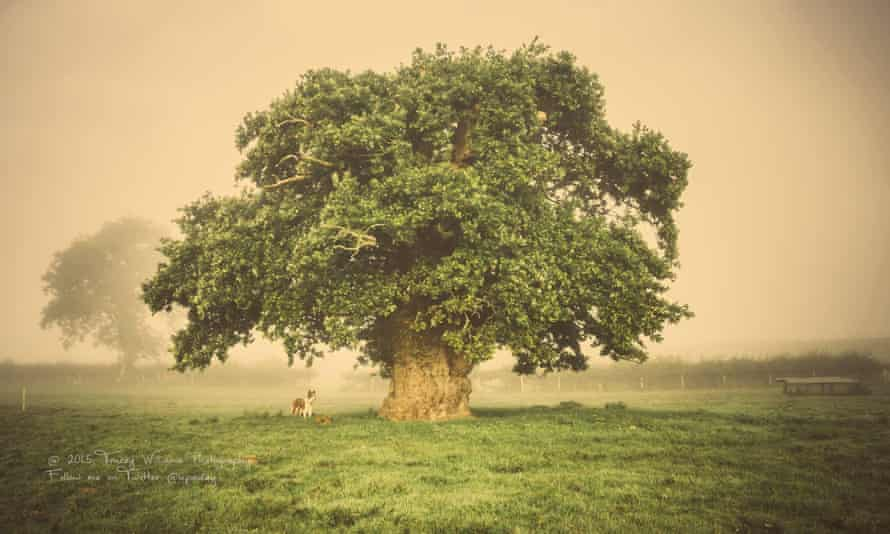 European tree of the year 2017, the Brimmon Oak in Powys, is still standing.