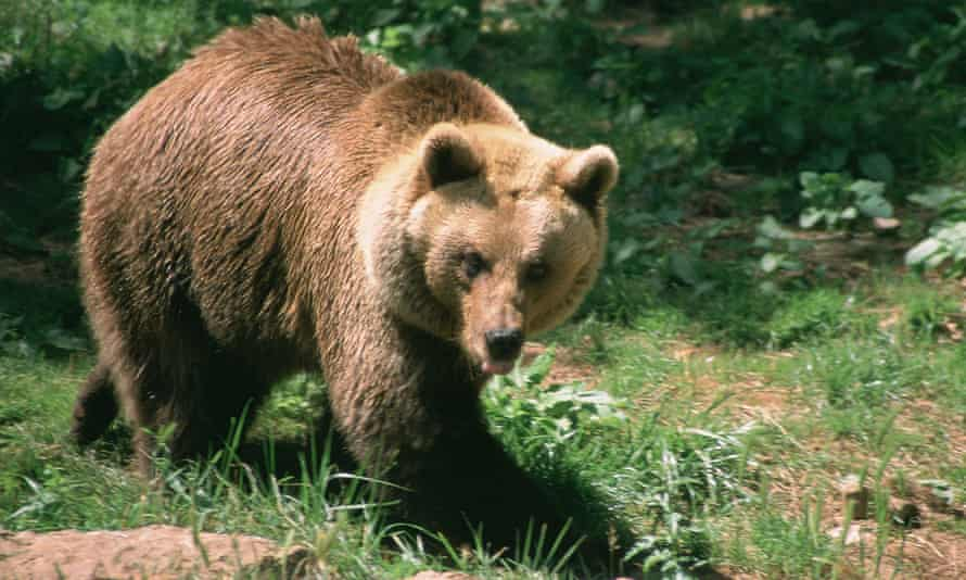 A brown bear in the French Pyrenees