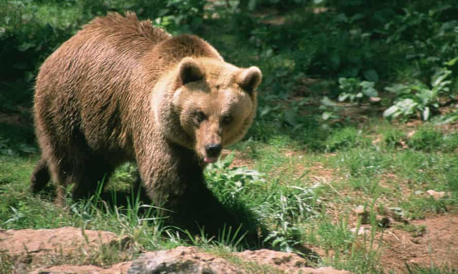 A brown bear in the Ariège region of south-west France.