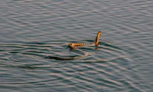 An adder swims in the Hickling Broad National Nature Park of the Norfolk Wildlife Trust.