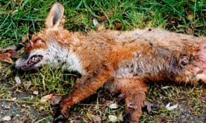 A dead fox by the side of the road